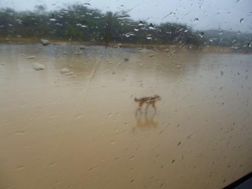 Dingoes Stole My Heart on Fraser Island