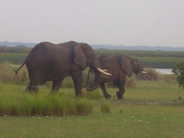 Elephant Uganda